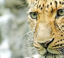 Amur Leopard Up Close by Mark Hughes