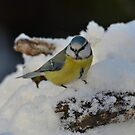 Blue tit in the snow by Peter Wiggerman