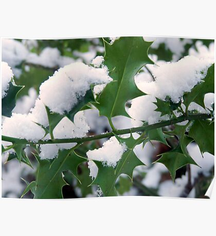 Snow covered holly Poster