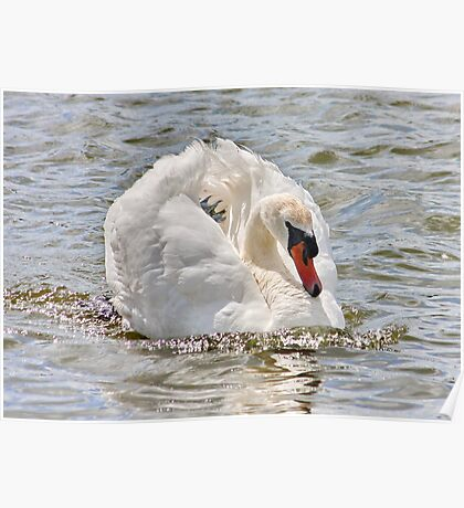Swan on the River Dee Poster