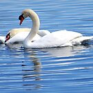A picture of Grace and peace - Swans in a reflecting pond in Florida by Rick Short