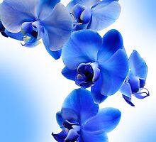Blue Orchid by Frank Kletschkus