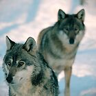 Wolves by stevenajbeijer