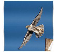 120912 Prairie Falcon Poster