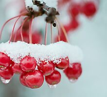 snowberries by Janice Squires