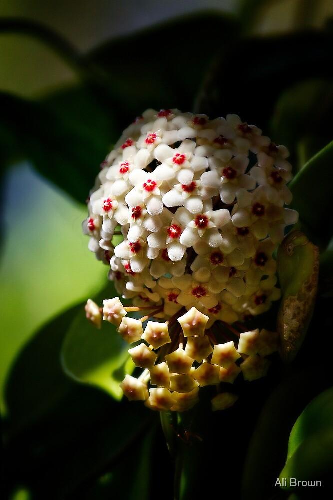 Hoya Flower by Ali Brown