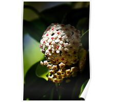 Hoya Flower Poster