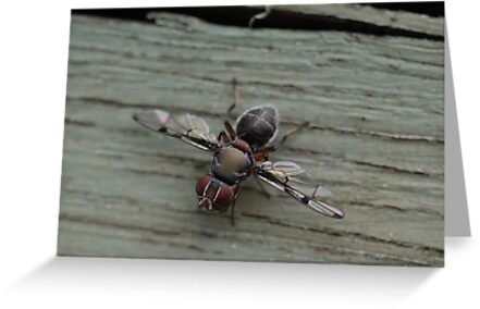 An Aussie Snipe Fly in Macro (1) by Larry Lingard-Davis