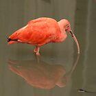 Rode Ibis / Scarlet Ibis by MaartenMR