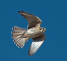 120912 American Kestrel by Marvin Collins