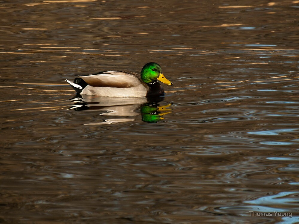 Mallard Drake by Thomas Young