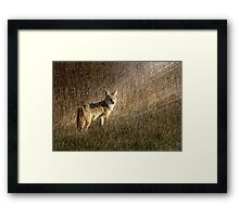 Coyote in the sunset Framed Print