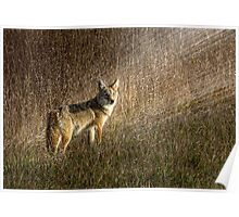Coyote in the sunset Poster