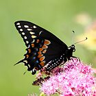 Butterfly on Flowers by Johnny Furlotte