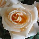 Better than apricots is this Apricot Rose ... by Choux