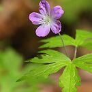 Wild Geranium  by naturalnomad