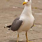 Pretty Gull by fitch