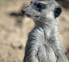 Cute Meerkat by Vac1