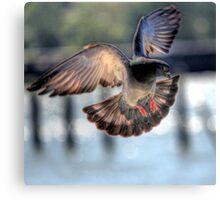 Feral Pigeon Canvas Print