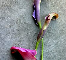 Colorful Callas by Michael May
