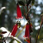 Beautiful Bell, Tasmanian Native Correa, Northern Tasmania,Australia. by kaysharp