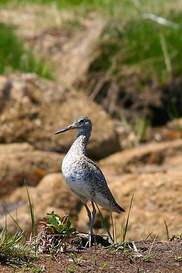 Willet by Mark Theriault