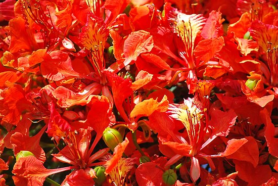Flamboyant Red Flowers by tropicalsamuelv