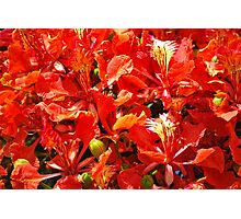Flamboyant Red Flowers Photographic Print