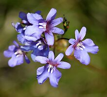 Blue Nemesia by Antionette