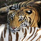 Mauritius - Tiger at Casela Park by mattnnat