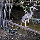 Costa Rica - Blue Heron by mattnnat