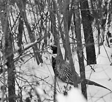 "Still, MOTIONLESS and thinks ""don't see me, don't see me"" poor Pheasant that cold will!!!  VETRINA RB EXPLORE 13 FEBBRAIO 2013 - by Guendalyn"