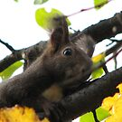 Squirrel Gathering Food for His Winter Store by Dennis Melling