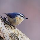Red-breasted Nuthatch by naturalnomad