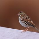 Savannah Sparrow by naturalnomad