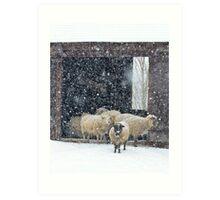 Winter Snow on Sheep Art Print