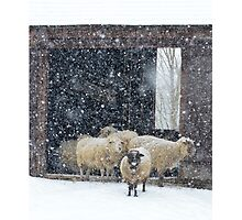 Winter Snow on Sheep by ginawaltersdorf