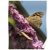 Butterflies on Buddleja davidi butterfly-bush 20121210 4489 Poster