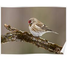 Common Redpoll Deep in Thought  Poster