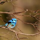 Fairy Wren by Marion  Cullen