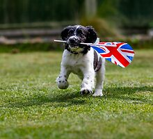 English Springer Spaniel Puppy with flag by broomhillphoto