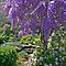 Wonderful Wisteria by Margaret  Hyde