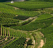 Vineyard by Steven Olmstead