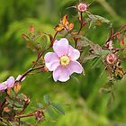 wild rose by cielleigh