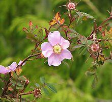 wild rose by cielleigh