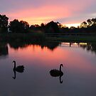 Swans, Mansfield, Victoria by Jennifer Eurell
