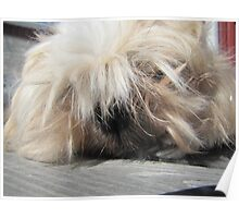 the king shih tzu Poster