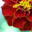 Red Marigold by MiloAddict