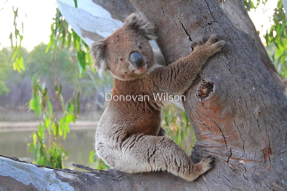 How much can a Koala Bear  by Donovan Wilson
