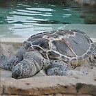 Turtle. by megantay01